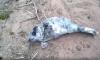 В лесу у Финского залива нашли ослабшего и поклеванного птицами серого тюлененка