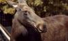 В Смольном хотят взыскать 400 тыс. рублей с браконьера за убийство лося