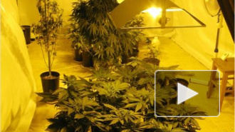 В поселке Выра Гатчинского района уничтожена огромная плантация по выращиванию марихуаны