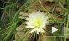 """В Ботаническом саду зацвел кактус """"Царица ночи"""""""