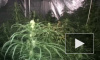 Плантатор из Голландии выращивал под Петербургом дешевую марихуану