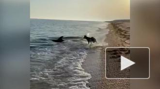 В Крыму дельфин подружился с псом и попал на видео