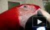 Поющий попугай