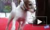 Терьер Угги стал первой собакой, получившей «Оскар» на сцене Kodak