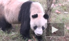 Появилось последнее видео со старейшей пандой из Китая