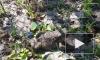 Под Сестрорецком серых жаб будут носить на руках, чтобы спасти от смерти