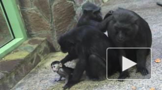 Ленинградский зоопарк отметил пополнение  в семье макак