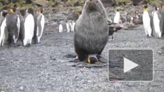 Что творится в Антарктиде: морские котики насилуют пингвинов для получения наслаждения, опыта и снятия напряжения