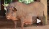 Китаец вырастил свинью весом с белого медведя