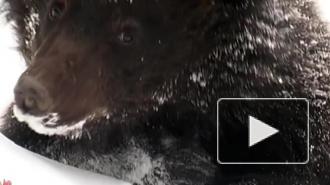 МЧС советует петербуржцам избегать медведей