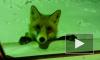 Видео лисички - попрошайки под Челябинском вызвало любопытство