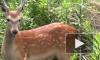 Полиция в Токио ищет разгуливающего по городу пятнистого оленя