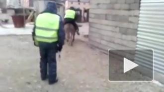 Осел похитил инспектора ГИБДД в Махачкале: видео набрало сотни тысяч просмотров
