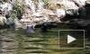 Видео: поросенок-герой спасает тонущую козочку