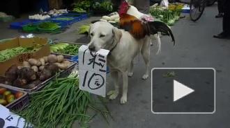 Забавное видео из Китая: собака, петух и курица торгуют на рынке