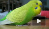 Попугай, который умеет смеяться