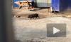 Петербуржцы потеряли минипига: испуганное животное бегает по городу