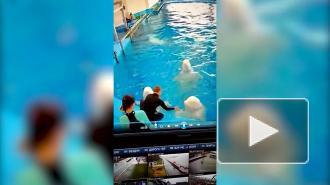 Приморский океанариум проверит видео с избиением белух