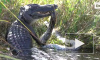 Американец снял на видео схватку четырехметрового питона и аллигатора