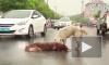 Душераздирающее видео из Китая: Собака пытается оживить своего сбитого друга хаски (18+)