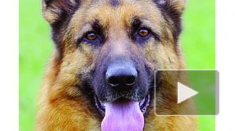 Полицейские собаки Петербурга пока что останутся бездомными