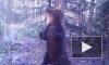 Эротический танец дикого медведя Ферапонта попал на видео