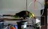 Как держать в доме такого попугая?