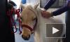 Маленькие лошади устроили ажиотаж в Петербурге