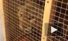 4-х месячную львицу из Пулково перевезли в Ленобласть