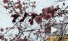 В Петербурге цветущая сакура заставляет прохожих нарушать карантинные меры