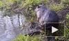 Забавное видео из Воронежа: бобер показал утреннюю зарядку