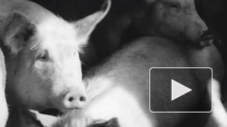 В селе Самарской области ввели режим ЧС из-за чумы свиней