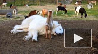 Видео: дружба большой белой собаки и козлят умилила Cоцсети