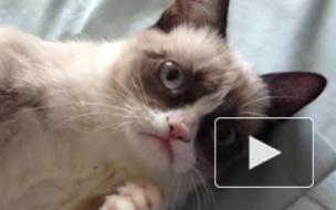 В возрасте 7 лет умерла знаменитая сердитая кошка Grumpy Cat