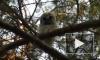 Петербуржец встретил в Приморском районе семейство ушастых сов