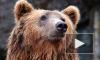 В Ярославле медведь напал на человека