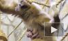 Ленинградский зоопарк выбирает имя малышу гиббона