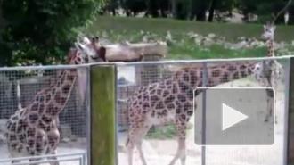 Жирафа из Калининградского зоопарка скормят львам