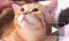 Кошки элитных пород ждут петербуржцев на выставке «Рождественская звезда»