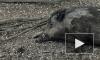 Любопытный кабанчик попал под колеса автомобиля на Суздальском шоссе
