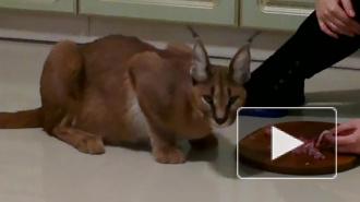В Москве украли редкого котенка-рысенка: стоимость пропажи — 400 тыс руб