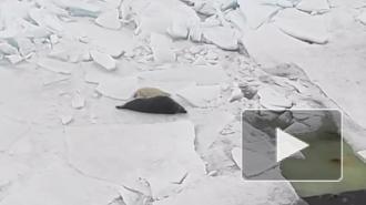 Эпизод семейной жизни серых тюленей попал на видео в Финском заливе