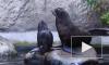 Впервые за 20 лет в Московском зоопарке родился морской котик