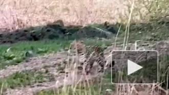 В Приморье краснокнижный дальневосточный леопард вышел к частному дому