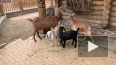 В Ленинградском зоопарке показали 9 карликовых и 2 нубий...