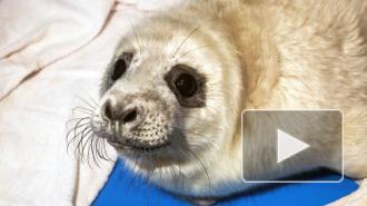 Центр реабилитации выпустил на волю спасенного тюлененка