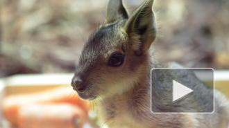 В Ленинградском зоопарке показали недавно родившихся патагонских мар