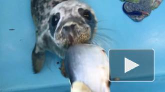 Фонд друзей балтийской нерпы показал, как тюлень ест селедку
