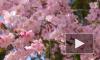 В Японии началось цветение сакуры, которое символизирует скоротечность жизни