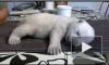 Крошечный белый медвежонок Сику из Дании покорил интернет